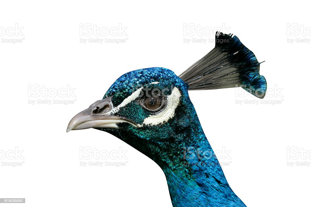 Peafowl, Pavo cristatus stock photo