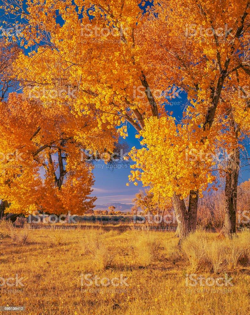 Peak Autumn Cottonwood trees Owens Valley near Bishop CA(P) stock photo