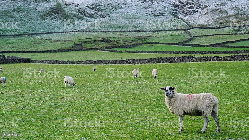 Peak district Sheep stock photo