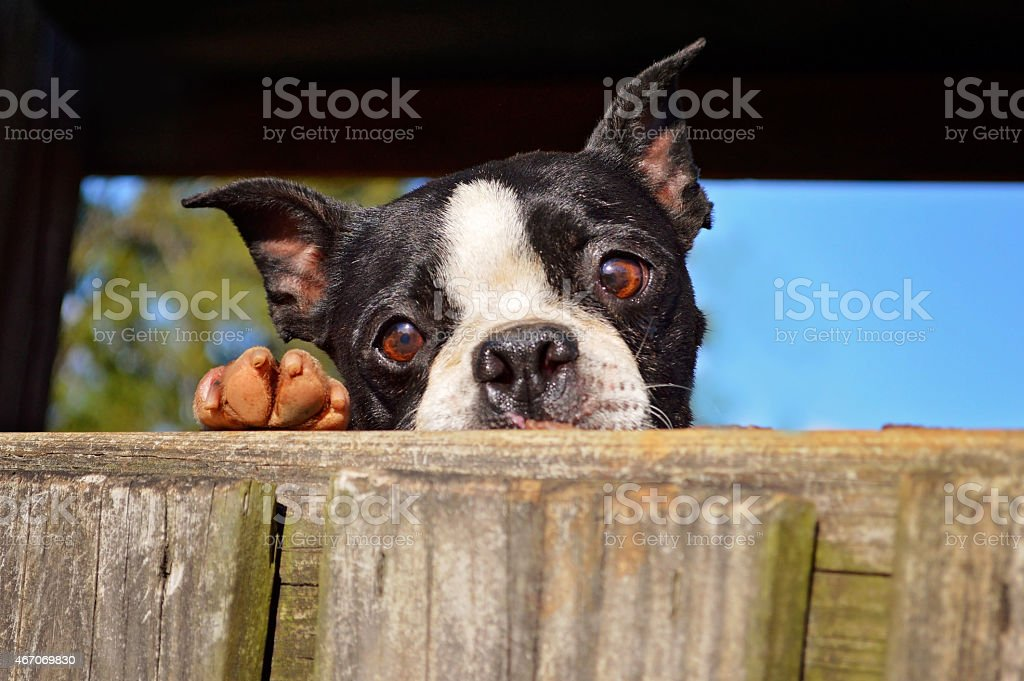Peaking Over royalty-free stock photo