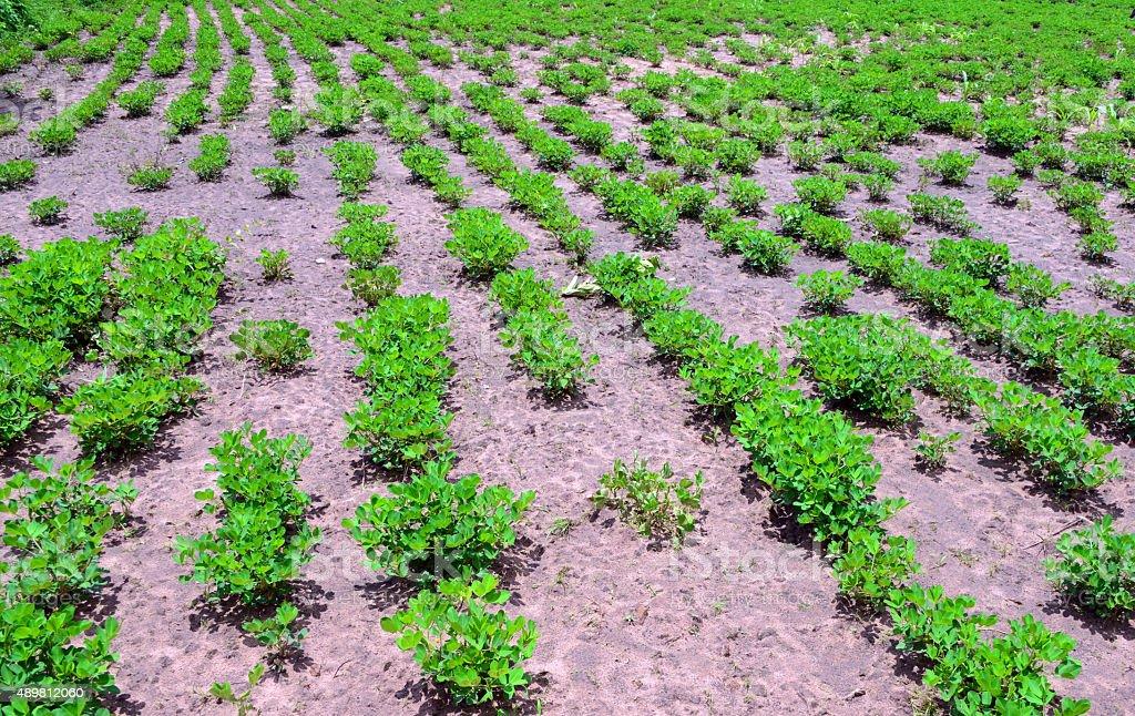 Peanut farm, Gambia stock photo