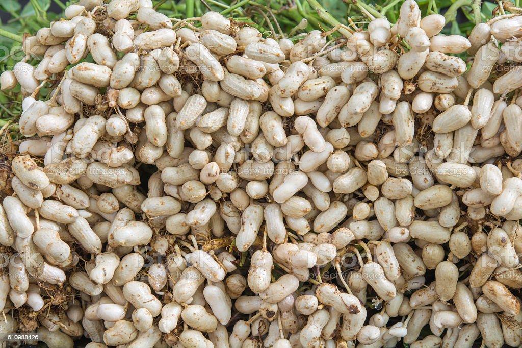 peanut fresh on a tree stock photo