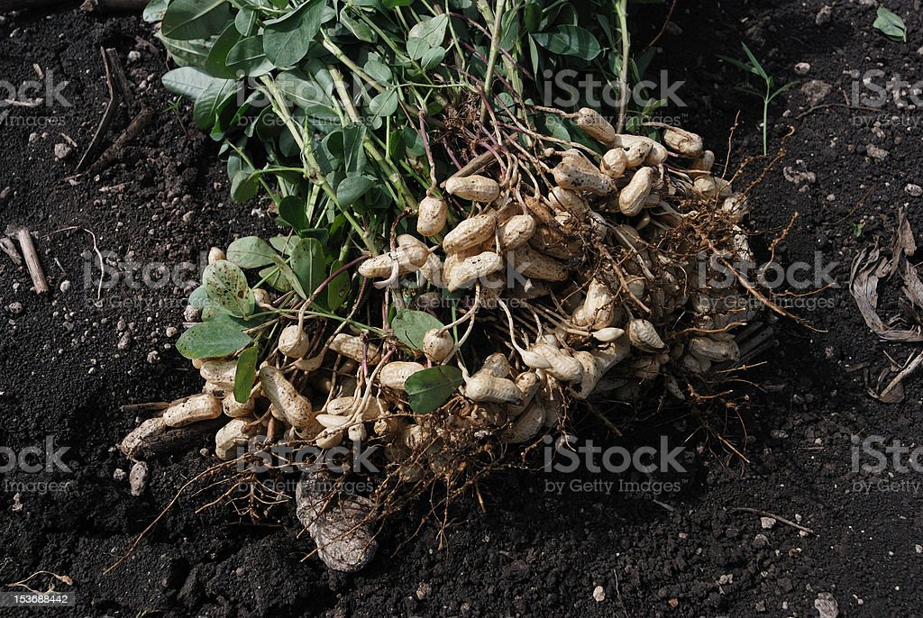 Peanut Plant stock photo