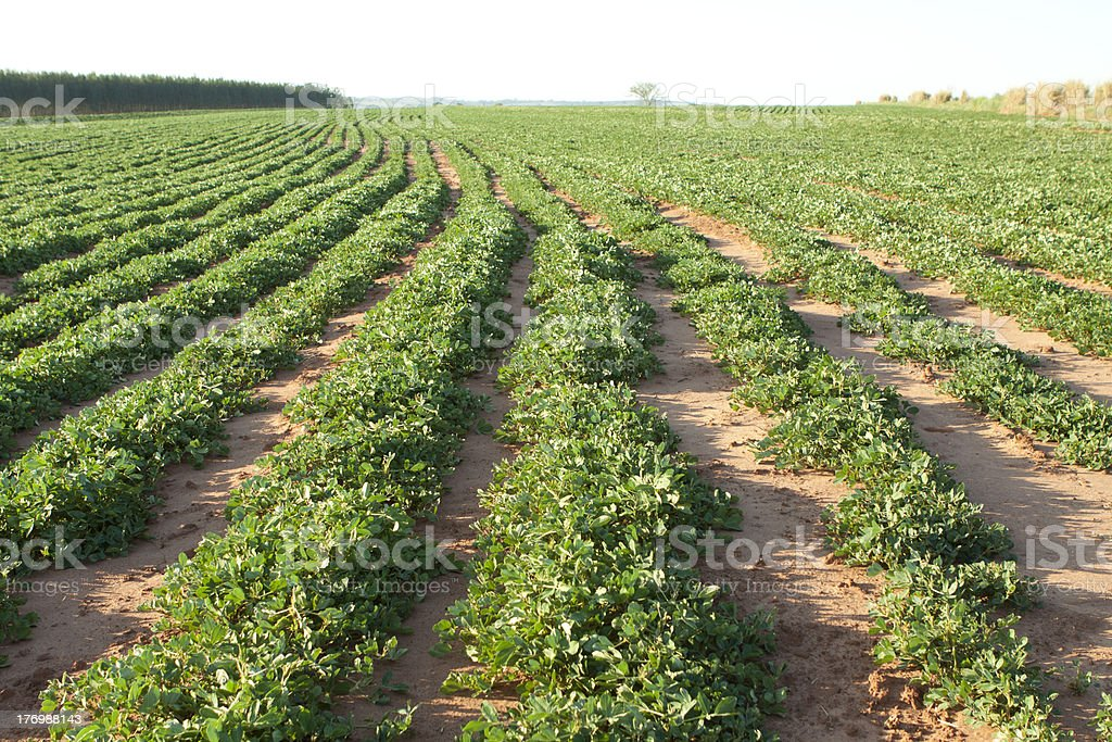 Peanut plantation stock photo