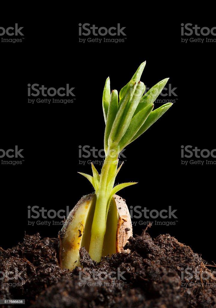Peanut seedling stock photo
