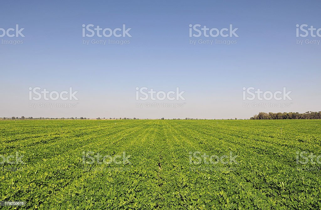 Peanuts fields stock photo