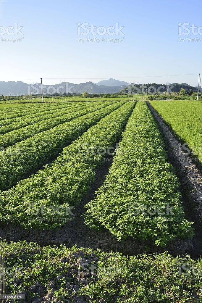 Peanuts  in the fields stock photo