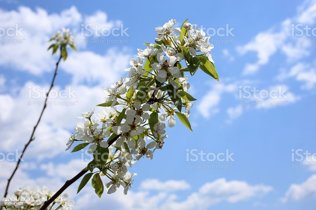 Pear blossom and sky stock photo