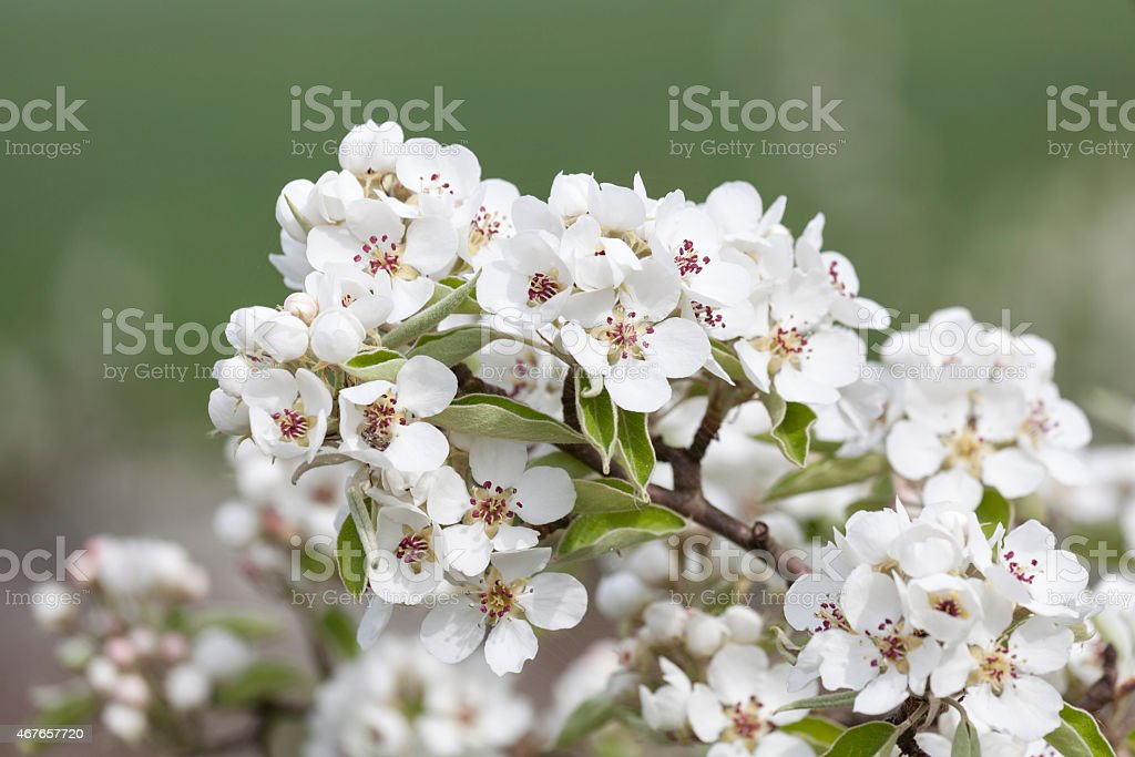 Pear blossom in April stock photo