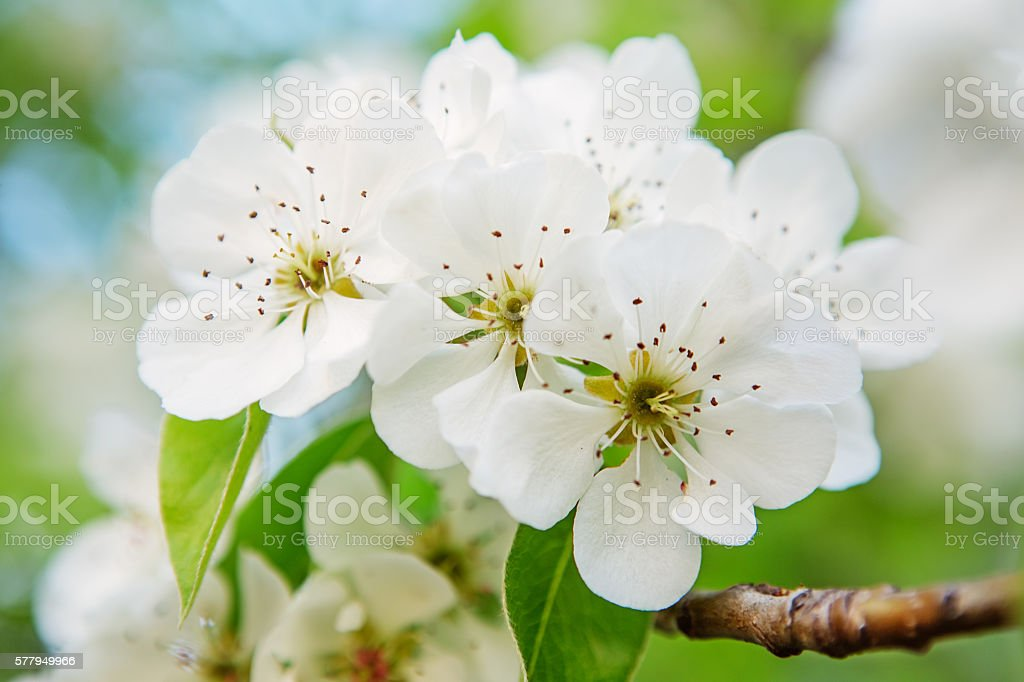 Pear blossom in early spring stock photo