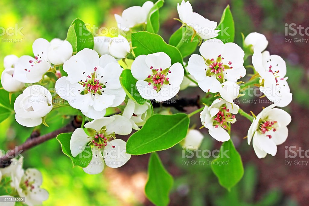 Pear blossom in spring stock photo