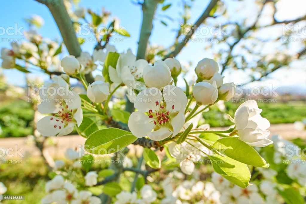 Pear blossoms a sunny day stock photo
