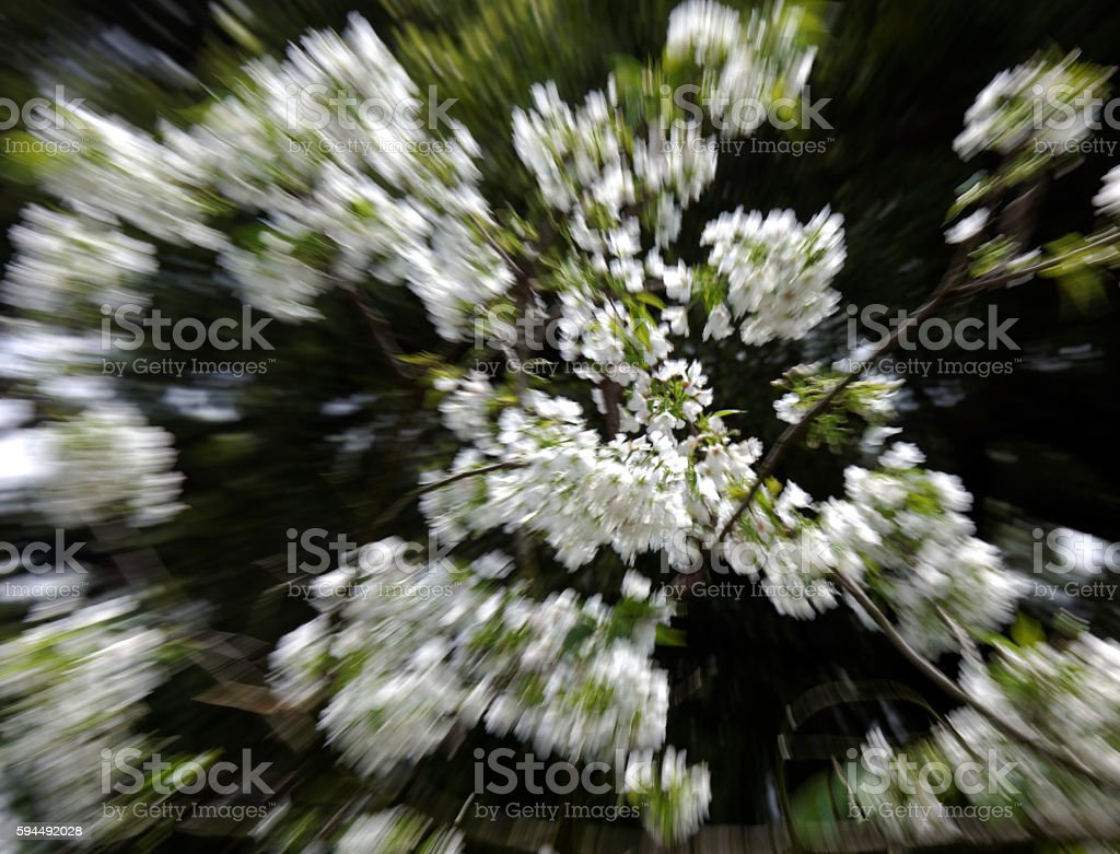 Pear blossoms for radial blur by photography stock photo