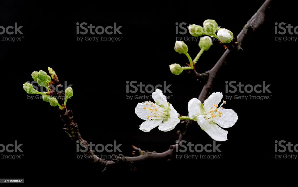 Plum blossom with water drops stock photo