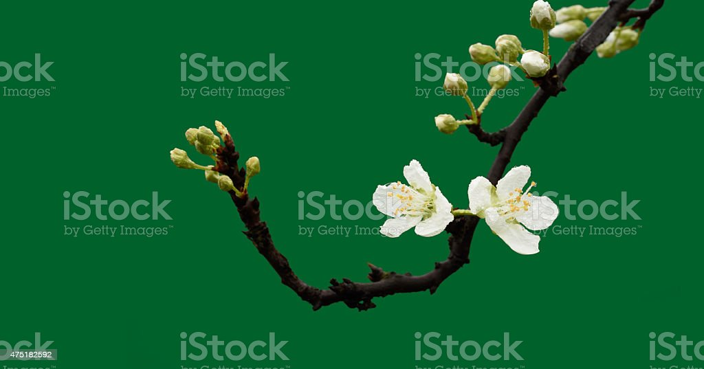Pear blossoms isolated green background stock photo