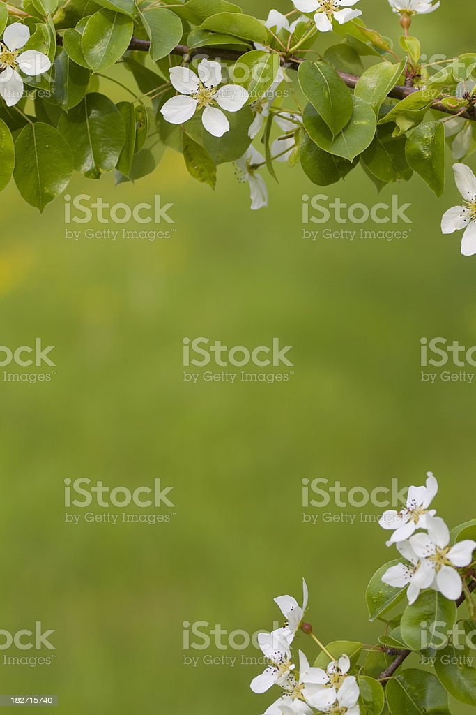 Pear blossoms with copy space royalty-free stock photo