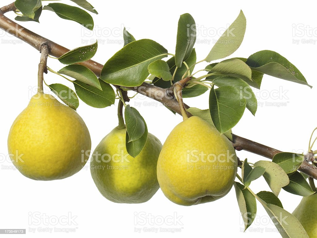 pear branch stock photo