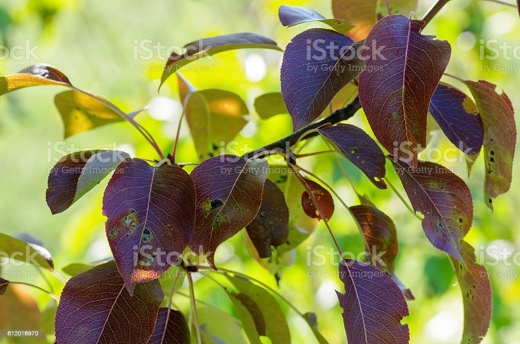 Pear branch with leaves at sun light stock photo