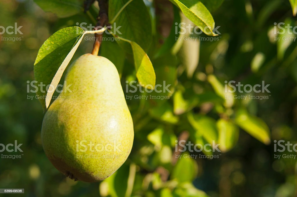 Pear crops on tree stock photo