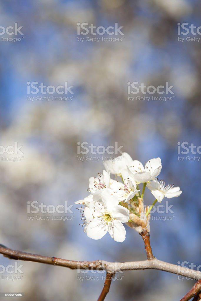 Pear Flower Bunch royalty-free stock photo