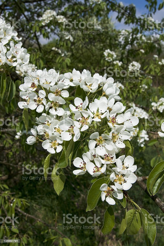 Pear flower royalty-free stock photo