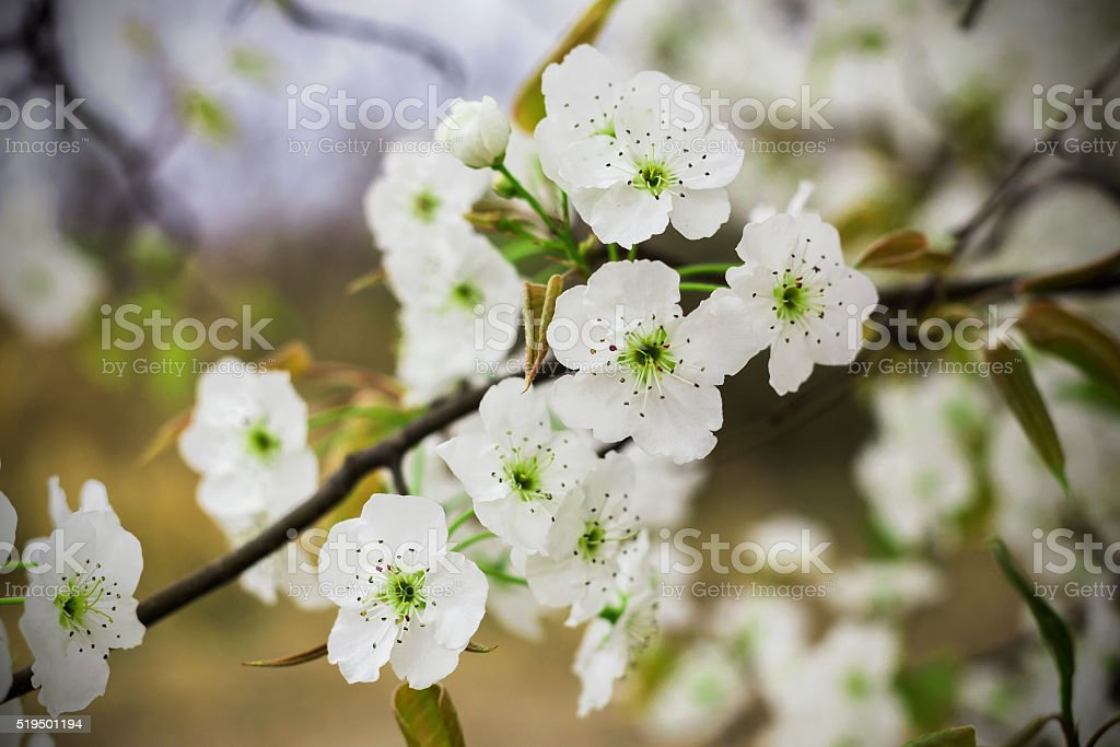 Pear Flower stock photo