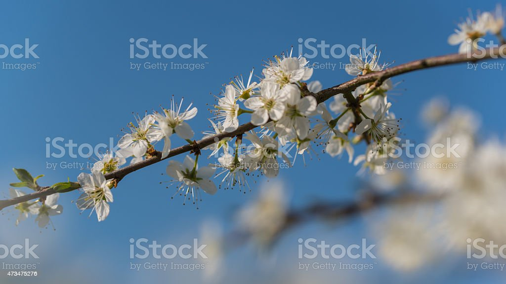 Pear flowers in bloom stock photo