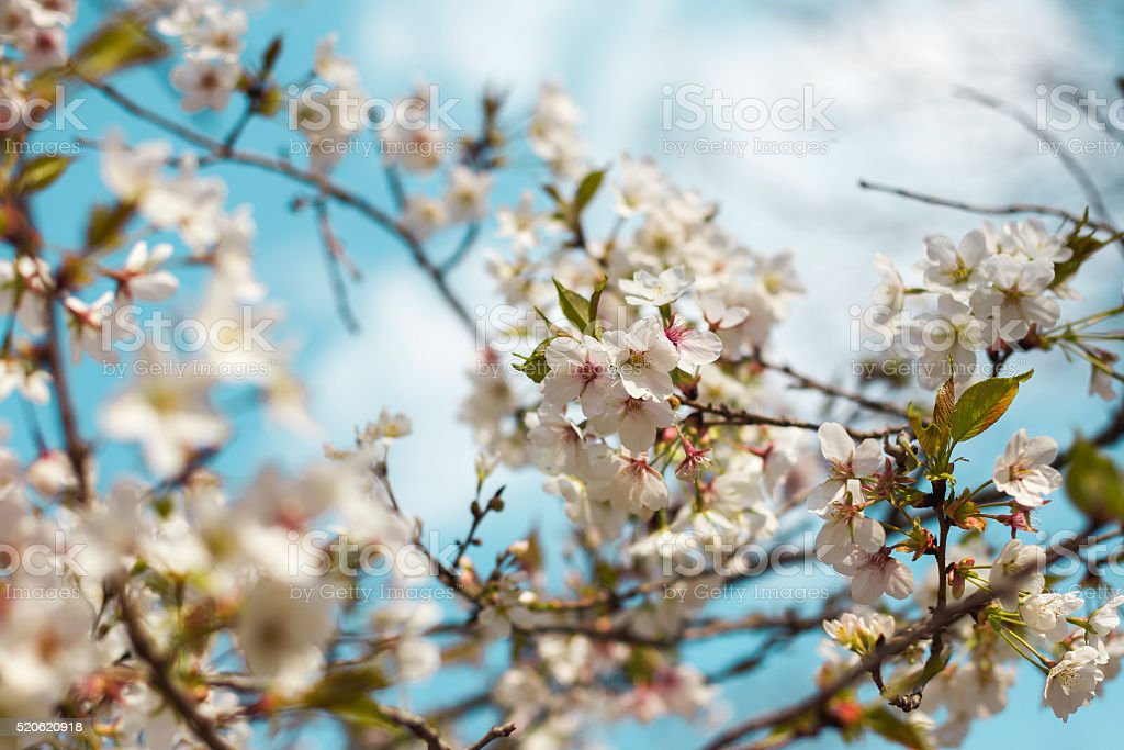 Pear Flowers in blue sky stock photo