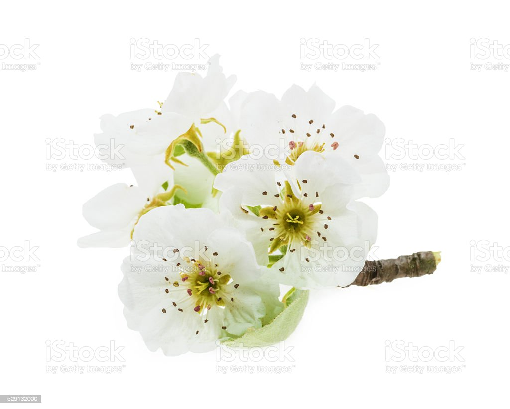 Pear flowers isolated on white stock photo