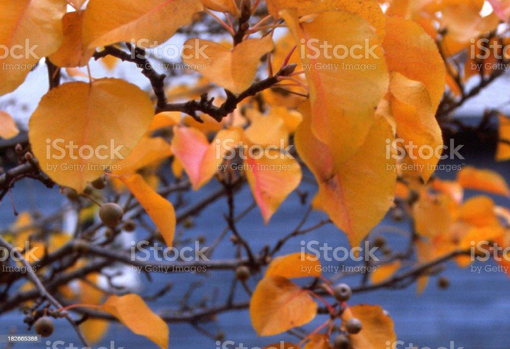 Pear Leaves Close stock photo