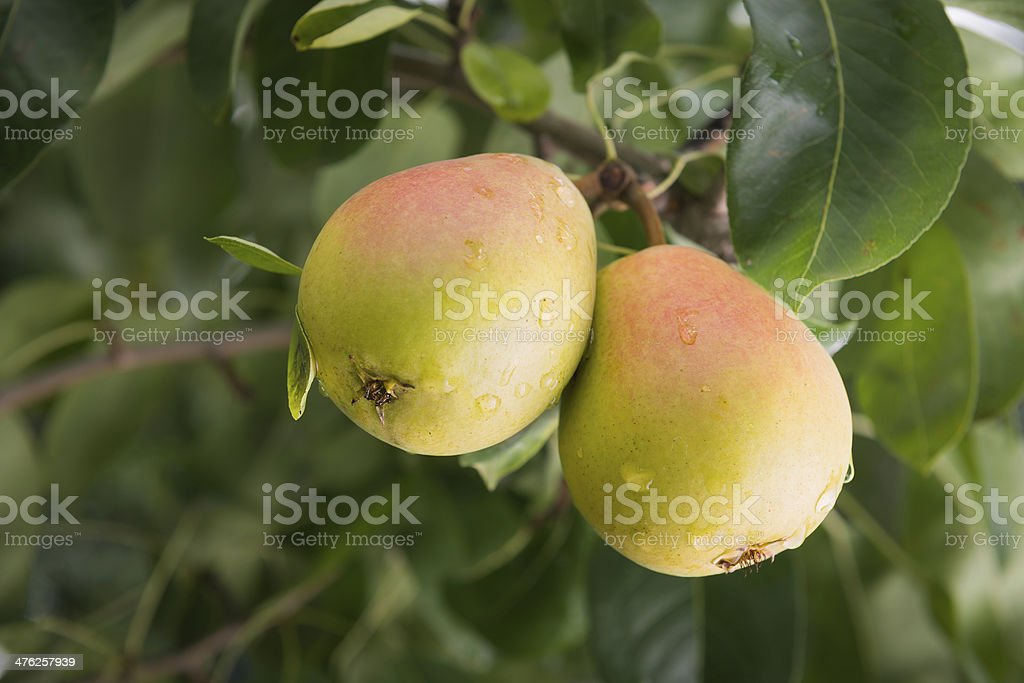 pear on a branch in an orchard stock photo