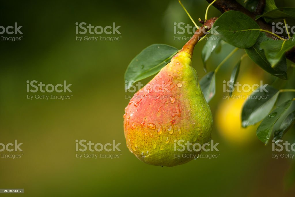 Pear On Branch stock photo