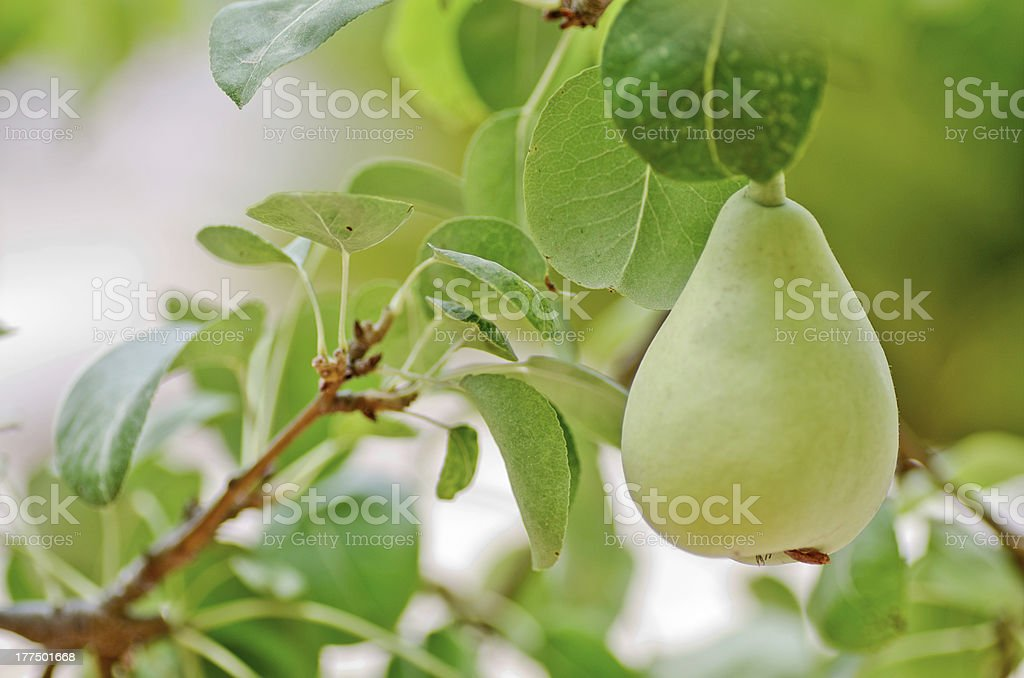 pear on the tree royalty-free stock photo