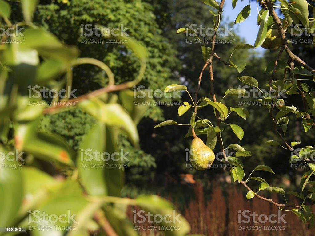 Pear on the tree stock photo