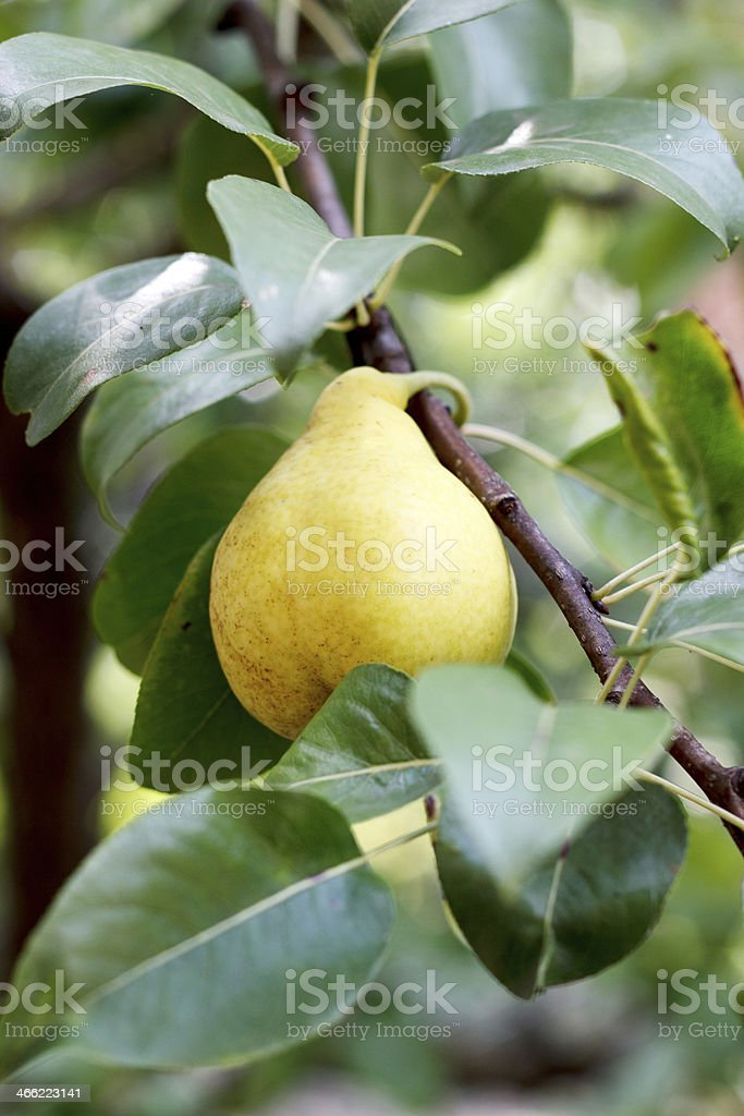 pear on tree royalty-free stock photo
