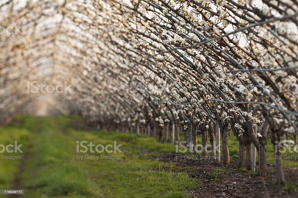 Pear Orchard at sundown stock photo