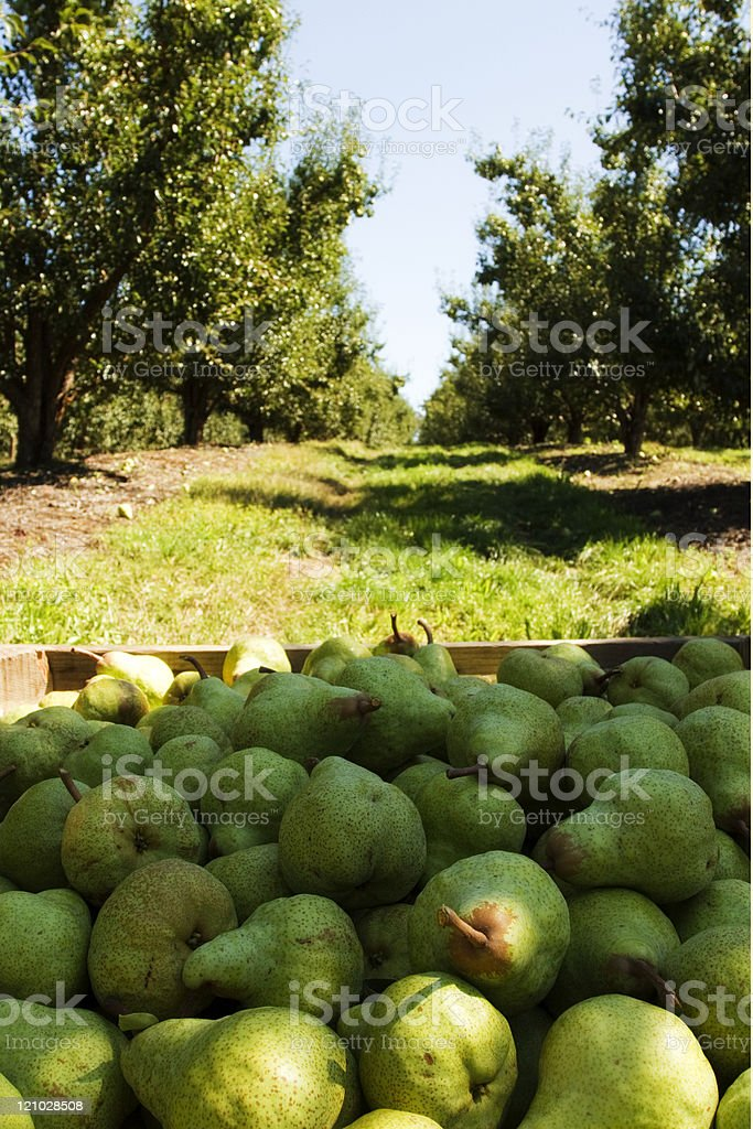 Pear Orchard stock photo