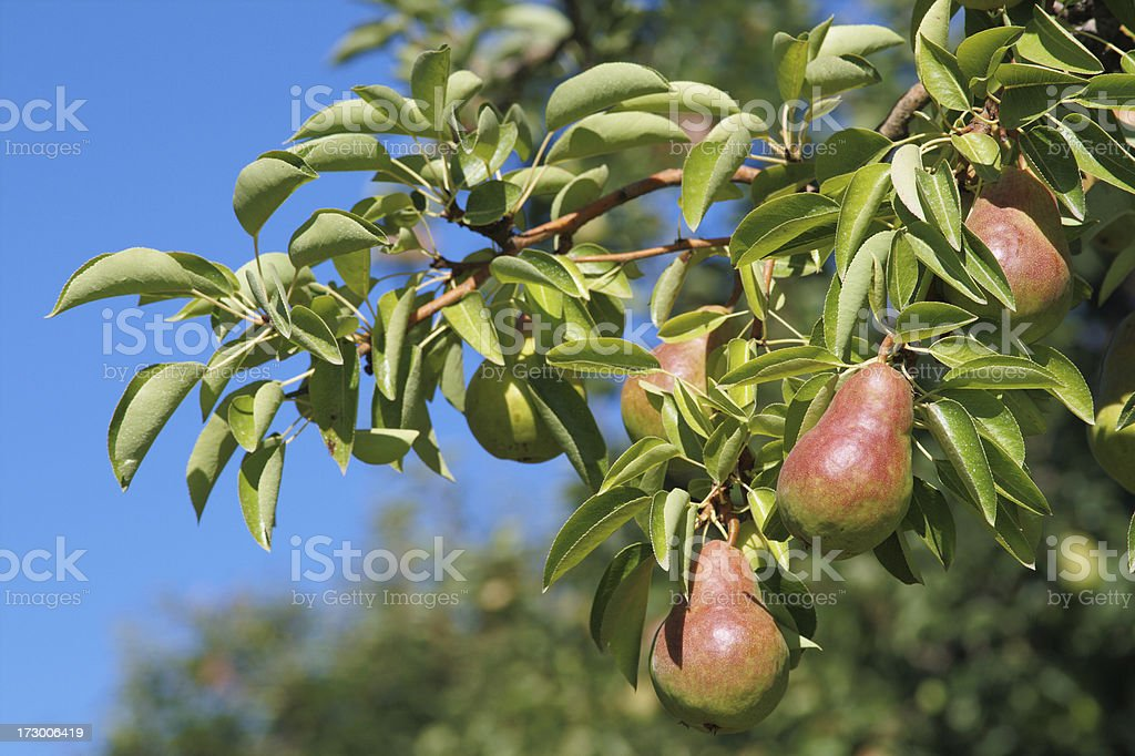 Pear orchard royalty-free stock photo