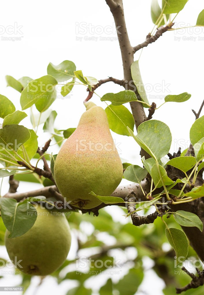 pear ripening on a tree stock photo