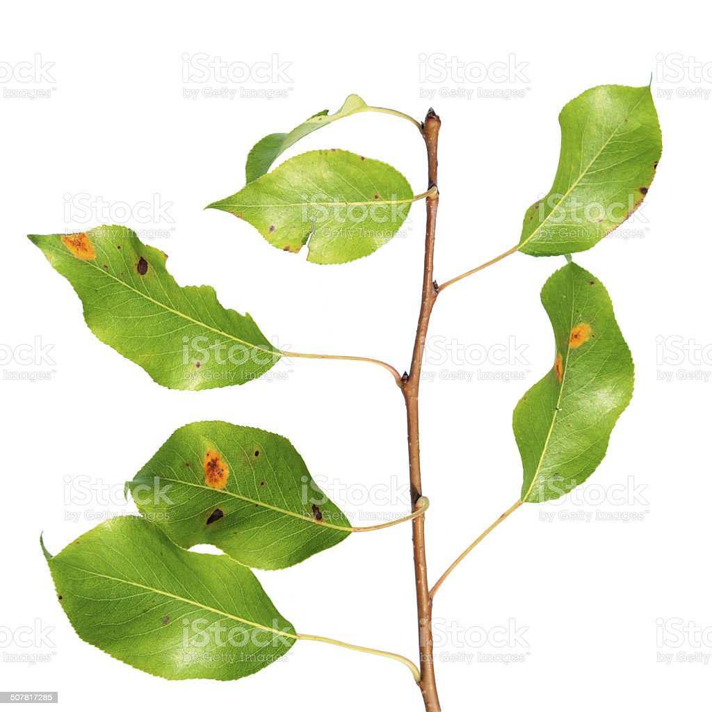 Pear rust on branch isolated on white royalty-free stock photo