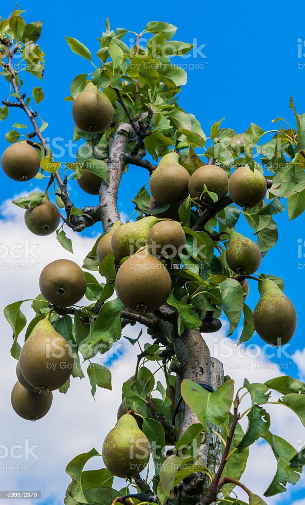 Pear  Tree and Orchard stock photo