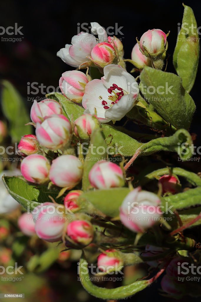 Pear tree blooming flower in the spring stock photo