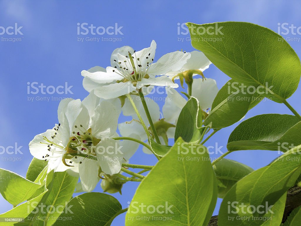 pear tree blossom stock photo