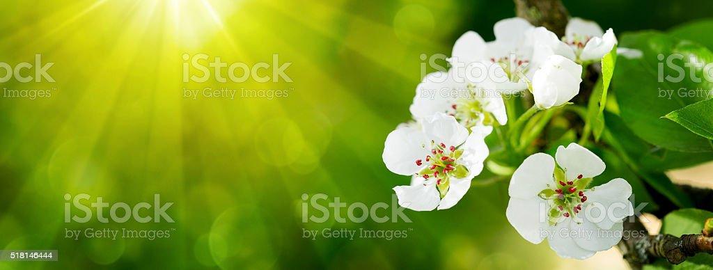 Pear tree blossoms . stock photo