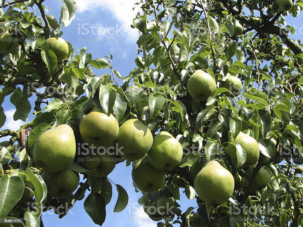 Pear tree branch royalty-free stock photo
