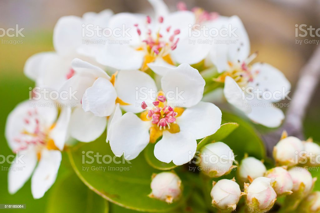Pear tree flowers stock photo