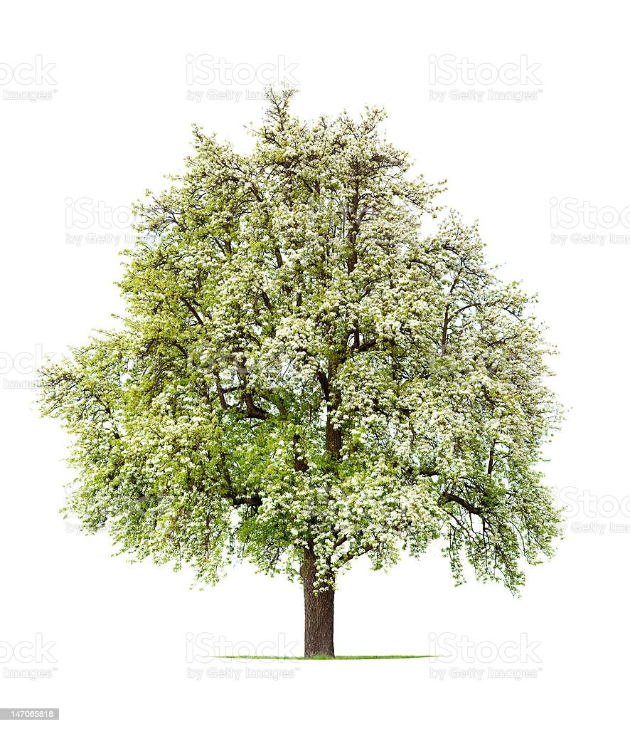 Pear Tree stock photo