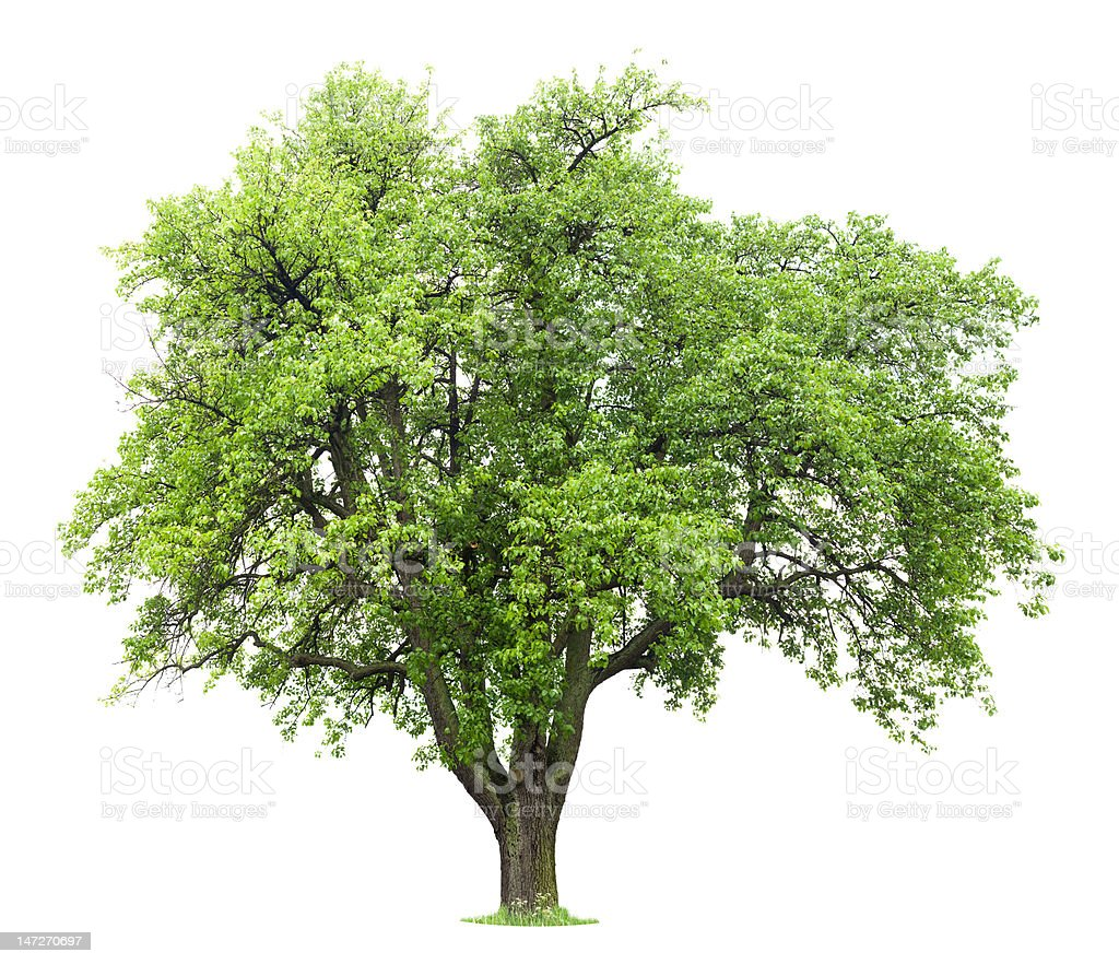Pear Tree royalty-free stock photo