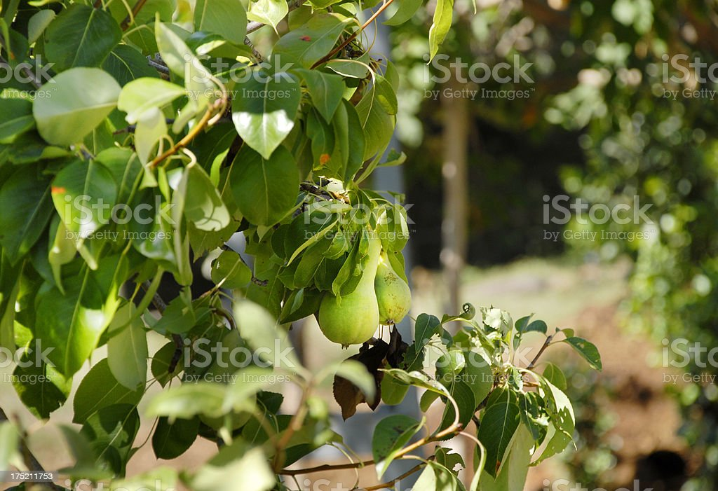 Pear Tree (Click for more) stock photo