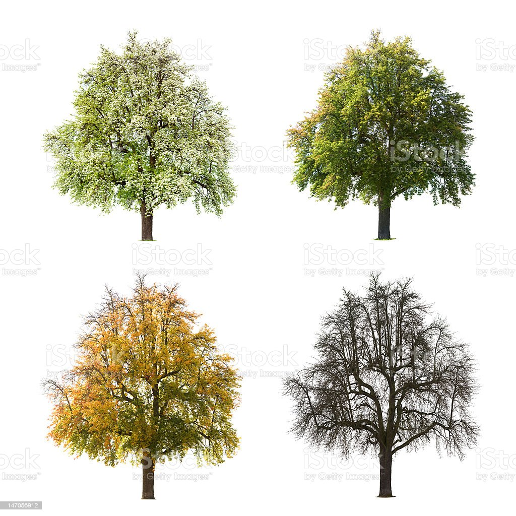 Pear Tree Seasons royalty-free stock photo